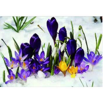 Sü Glückwunschkarte, Frühling; 115 x 165 mm; Fotomotiv: Krokusse im Schnee; lila-gelb-weiß; W080; Querformat; weiß